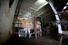 Cow on a dairy farm Royalty Free Stock Images