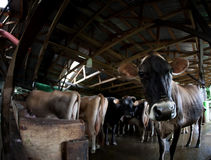 Cow on a dairy farm Royalty Free Stock Image