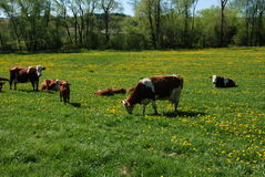 Cow and dandelions Royalty Free Stock Photography