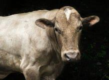 Cow  with dark background Stock Photos