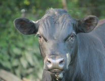 Cow-2 Royalty Free Stock Photos