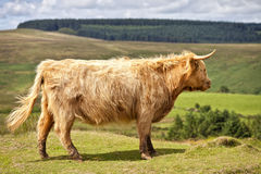 Cow on Dartmoor National Park, England, United Kingdom Royalty Free Stock Images