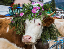 The cow is decorated with flowers Stock Photography