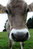 Cow. Detailed head of a brown cow Stock Photos