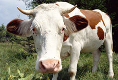 Cow distorted by the wide angle lens Stock Image