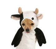 Cow dog. A tiny chihuahua dressed up in a cow costume stock image