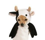 Cow dog stock image
