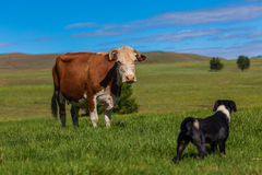 Cow Dog Challenge Field. Small black and white dog confronts barking challenge and  standing eye to eye with large brown white cow animal in a green grass field Royalty Free Stock Image