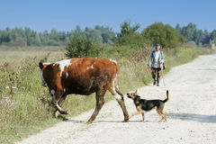 Cow and dog crossing road Stock Photos