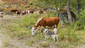 Cow and dog on pasture stock video footage