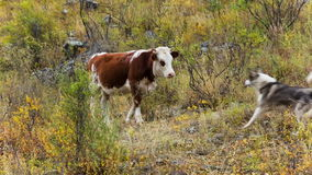 Cow and dog on pasture. Herd of cows grazing in high mountains. Dog is barking at cows stock video