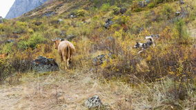 Cow and dog on pasture. Herd of cows grazing in high mountains. Dog is barking at cows stock video footage
