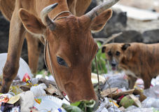 Cow and dog scavenging food stock photo