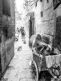 Animals eating garbage left by humans, City cow, Varanasi, India. A cow and dogs eat what they can find in the streets of Varanasi, India, Asia. Overpopulation stock photo