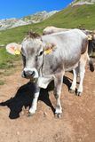 Cow on Dolomites Royalty Free Stock Images