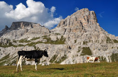 Cow in the Dolomites Mountains Royalty Free Stock Photo