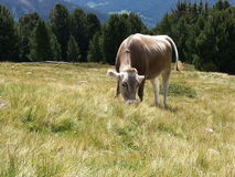Cow in Dolomiti mountains Royalty Free Stock Photos