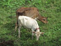 COW IS A DOMESTIC ANIMAL stock images