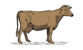 Cow drawing illustration Royalty Free Stock Image