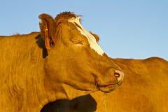 Cow dreams Royalty Free Stock Photos