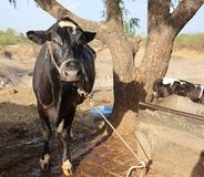 A cow drenched in water after bath. With water dripping from her face. Cows love baths in the Indian Summer heat stock photos