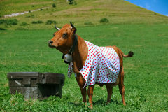 Cow dressed in polka dot Stock Images
