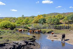 Cow drink water in the creek Stock Images