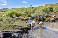 Cow drink water in the creek Royalty Free Stock Images