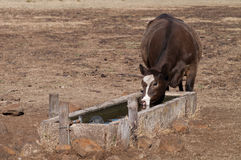 Cow drinking Stock Photo