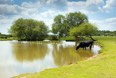 Cow drinking at a lake New Forest Hampshire England UK on a summer day Royalty Free Stock Images