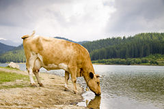 Cow drinking from a mountain lake Stock Image