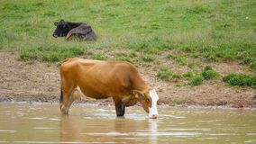 Cow drinking pond stock video
