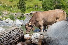 A cow drinking in a river in Spanish Pyrenees. Rivers and mountains stock photography