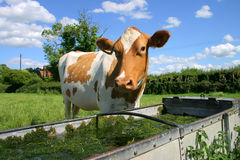 Cow at drinking trough Stock Photo