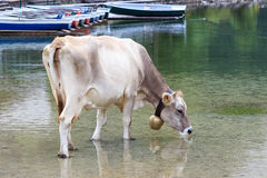 Cow drinking Royalty Free Stock Photography