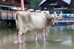 Cow drinking Royalty Free Stock Images