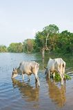 Cow drinking water Stock Image