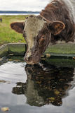 Cow drinking water Stock Photos