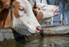 Free Cow Drinking Water On Ranch Stock Images - 218561034