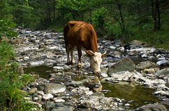 Cow is drinking water at rocky mountain stream Stock Images
