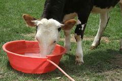 a cow drinking water Stock Photo