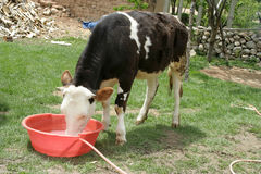 A cow drinking water Royalty Free Stock Photo