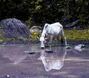 Cow drinking water Royalty Free Stock Image