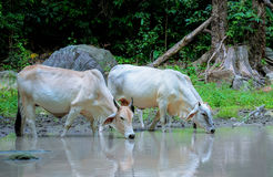 Cow drinking water Stock Photography