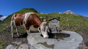 A cow drinking from a watering place. A broad view of a cow drinking from a watering place under cloudless sky on a sunny summer afternoon in alps mountains on stock image