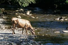 A cow drinks water from a mountain river stock photography