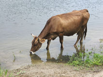 Cow drinks water. Portrait of beautiful cow, drinking from river in evening. Farm Animal. Stock Photo