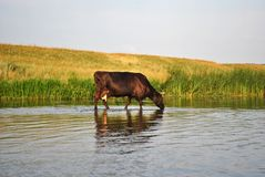 The cow drinks water in the river Stock Image