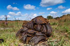 Cow dung Stock Photography