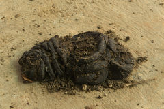 Cow dung. Dried cow dung on ground Royalty Free Stock Image
